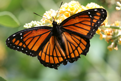 Outer Banks Monarch Butterflies